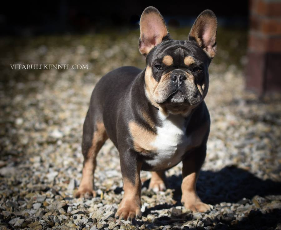 French Bulldog Puppies From Europe Vitabull Kennel
