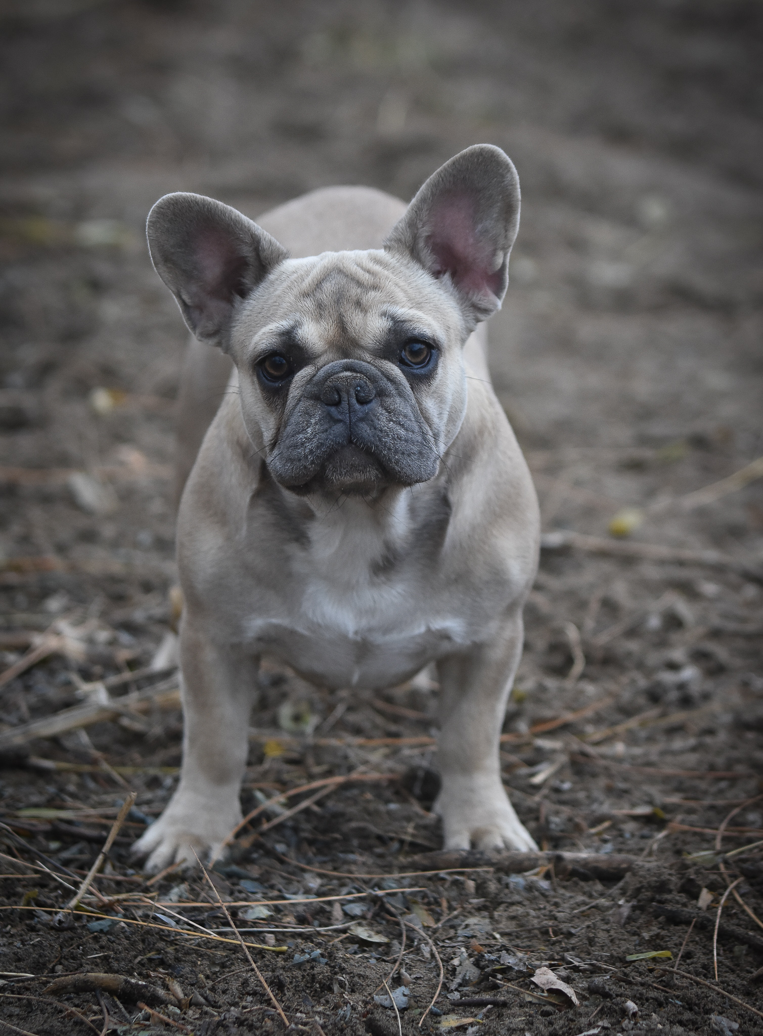 French Bulldog Puppies from Europe | VitaBull Kennel